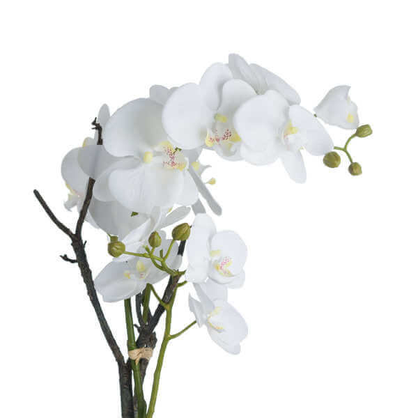 Honor White Orchid